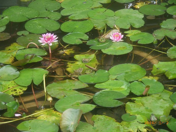卡通池塘荷花青蛙