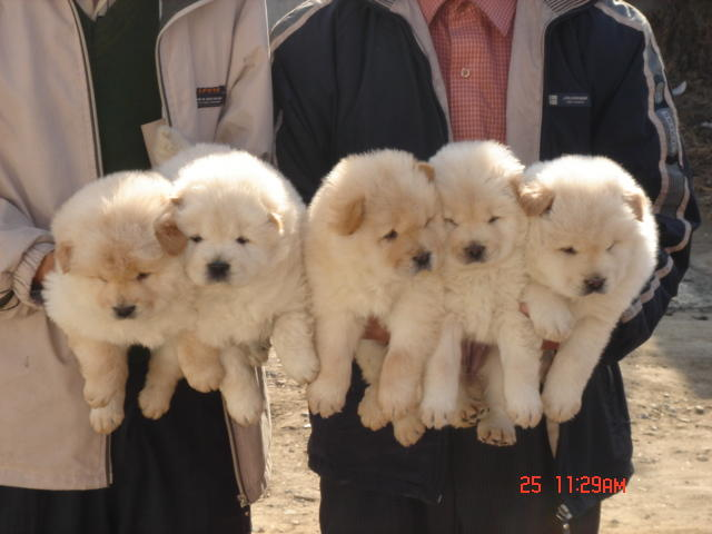 可爱宠物家族 燎原养狗场名犬专卖