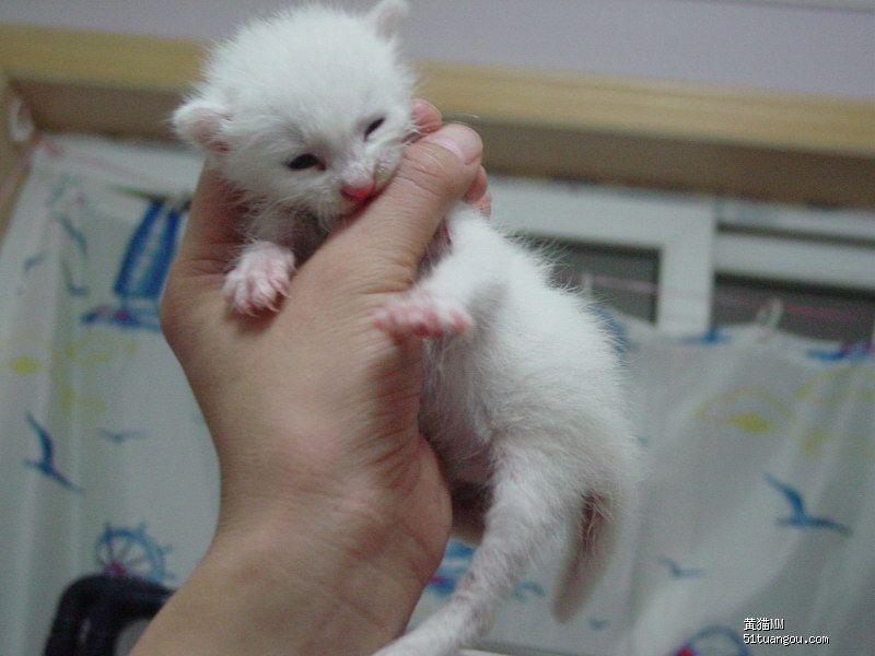 可爱的小小白猫的领养