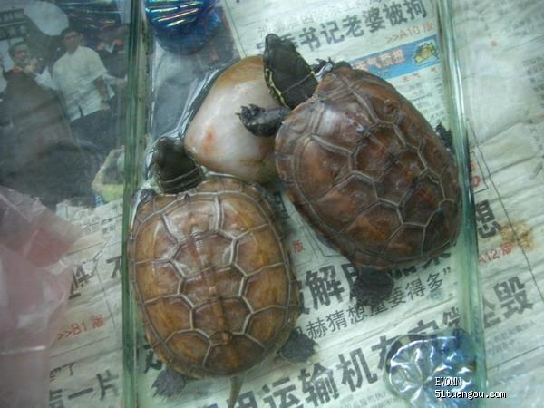 家的2只小龟 乌龟冬眠问题求助