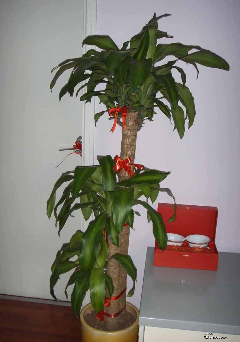 龙血树 净化空气