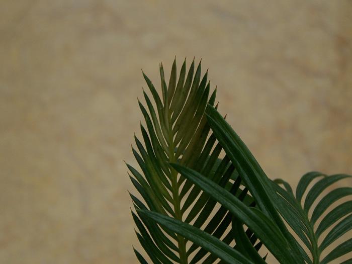 请问铁树叶子发黄是什么原因啊?附照片