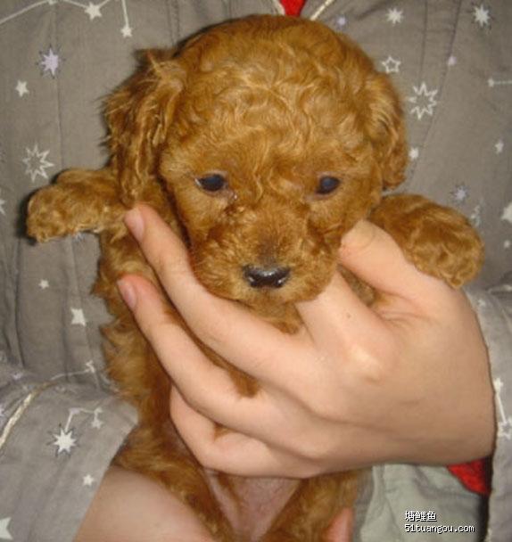超级可爱的玩具红泰迪宝宝,现在宝宝40天大,是玩具型的,毛色
