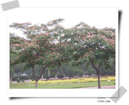 合欢树皮,花蕾及花都可入药;树皮纤维可制作人造棉