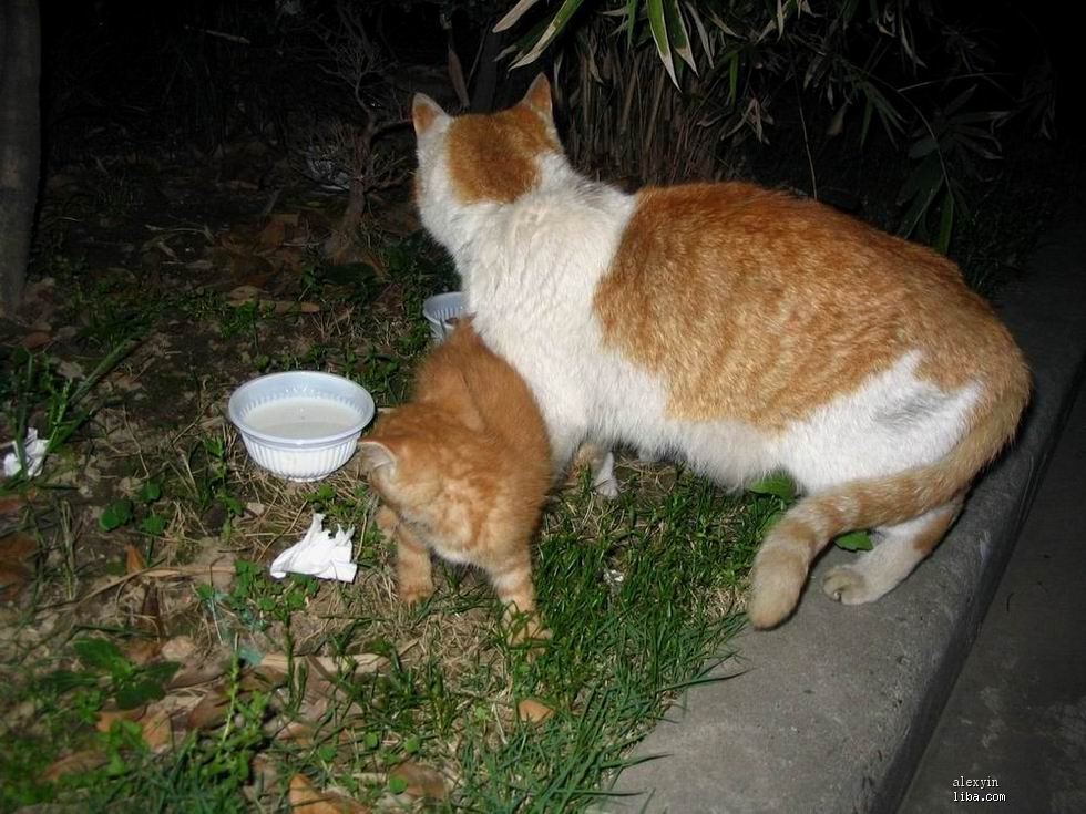 含泪求助,谁瞎眼猫妈妈的三个可爱的黄色虎斑小猫咪