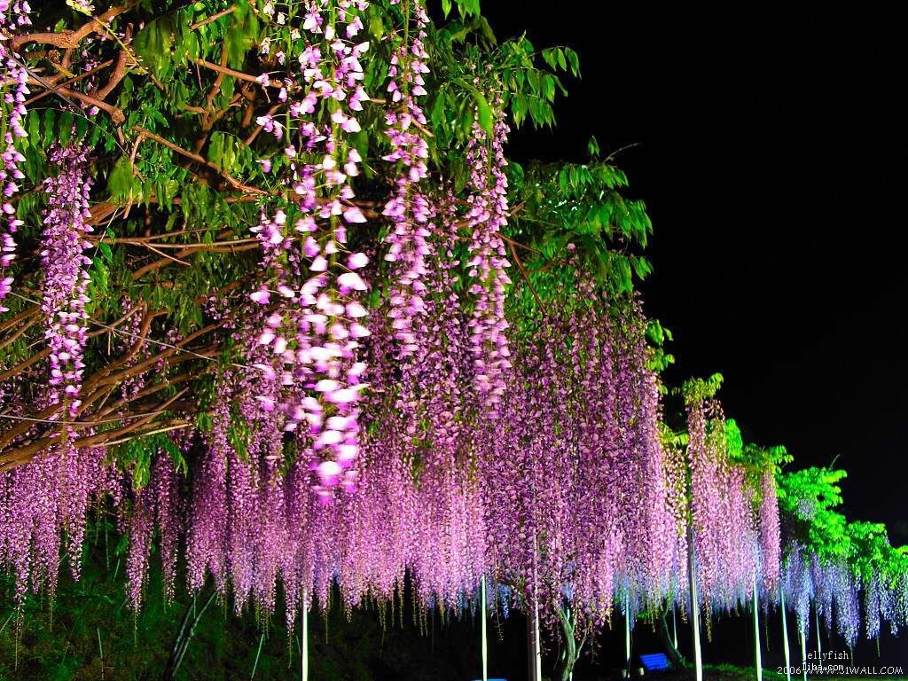 小店里销售的紫藤苗为多花紫藤