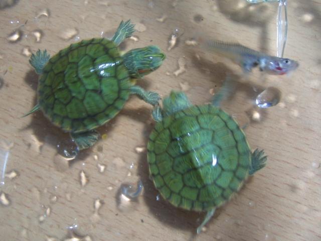 小乌龟怎么养?