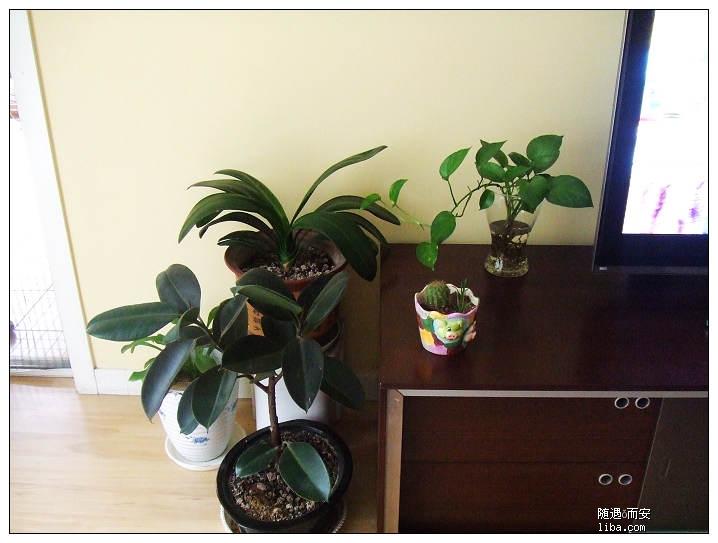 """""""植物人""""----橡皮树"""