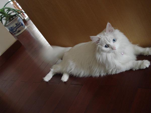 猫儿们~~~小白猫找领养.