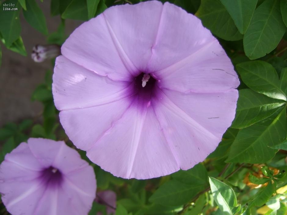 欧式别墅图片紫色