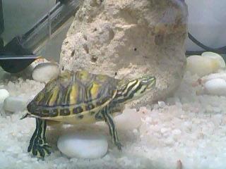 水龟过冬不冬眠了,明年肯定大好多