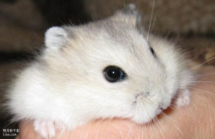 最受欢迎的宠物之一的仓鼠