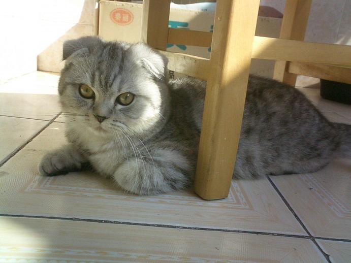 转家养纯血统苏格兰折耳猫--黑白虎斑纹