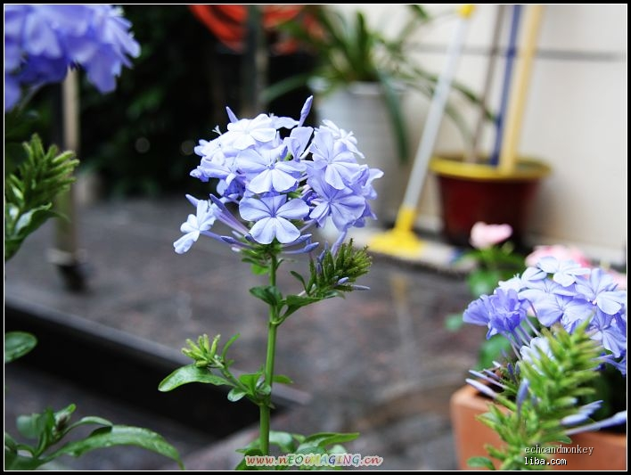 蓝雪花,彩叶芋,熏衣草
