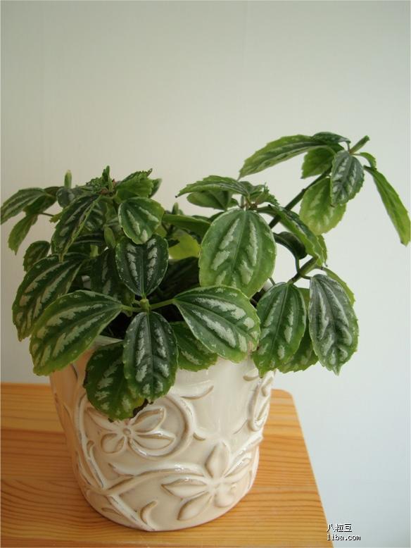 一直很喜欢冷水花,在组合盆栽中比较常用