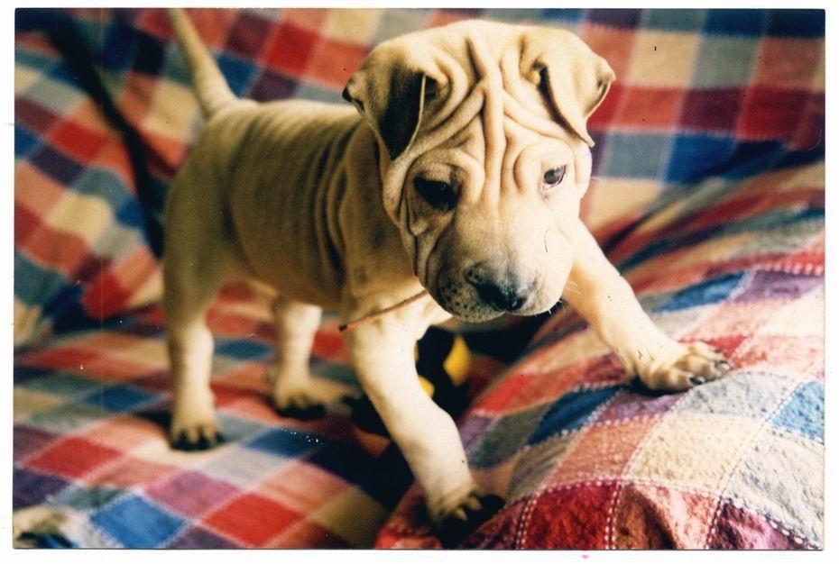 宠物沙皮狗_北京可上门纯黑色沙皮狗狗宠物狗出售纯种沙