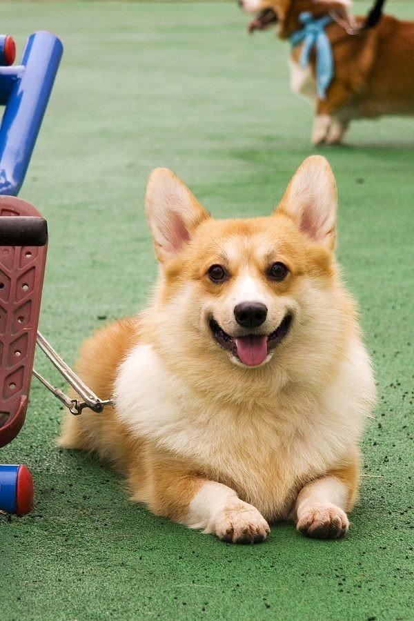 虹口区出售超可爱宠物狗