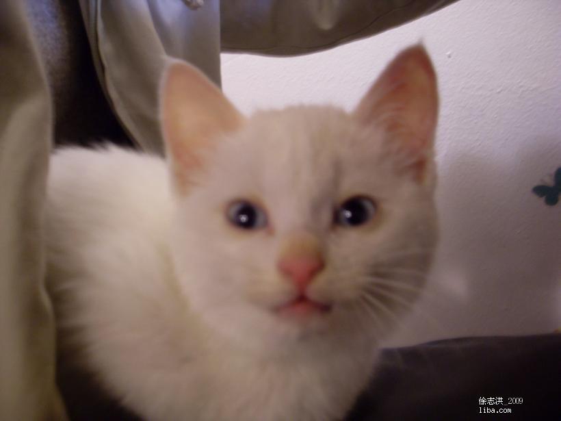 新到小白猫一只免费找领养