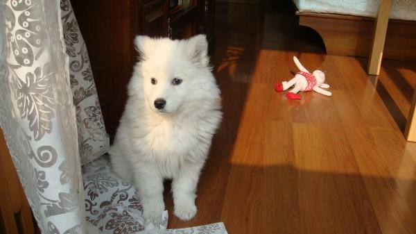 萨摩耶5个月有多大_两个月大的萨摩应该多大-萨摩耶犬两个月有多大 _感人网