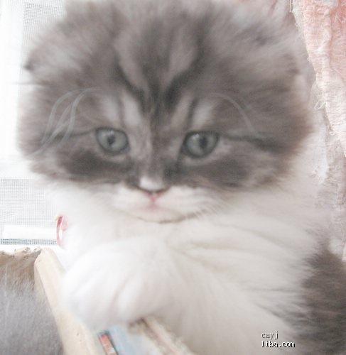 可爱的折耳猫 宠物福利社