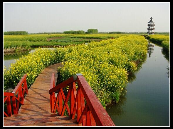 千岛菜花万亩金 --- 兴化千岛油菜花田,水上森林亲子2