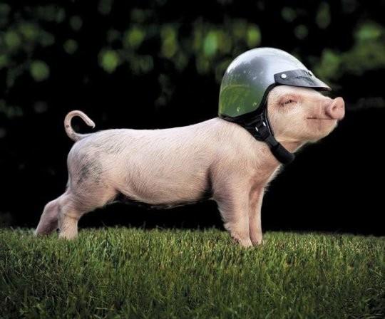 贝克汉姆养的宠物猪竟然可以可爱到这个