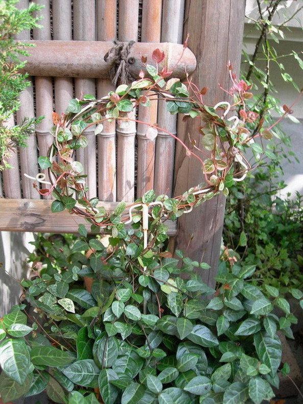 幸福树移盆后叶子下垂