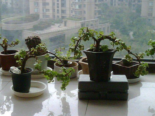 金枝玉叶花盆景造型内容|金枝玉叶花盆景造型版面设计图片