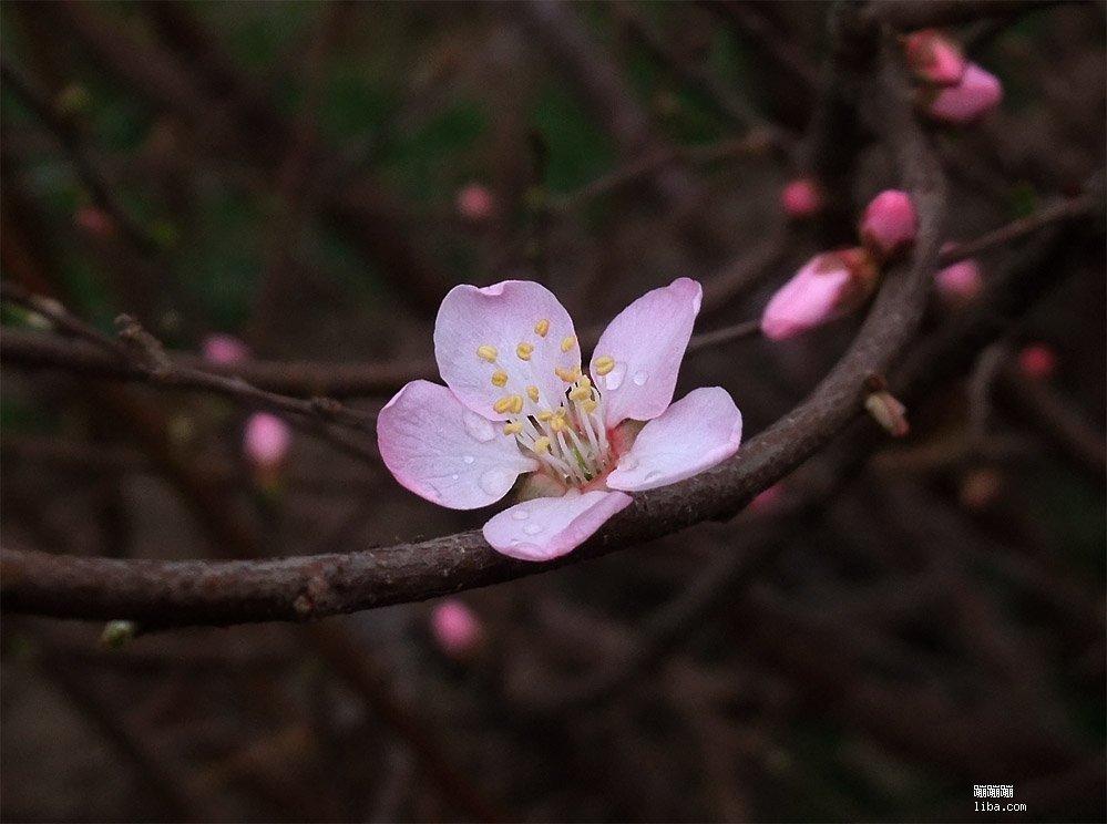 老树花蕾图片大全