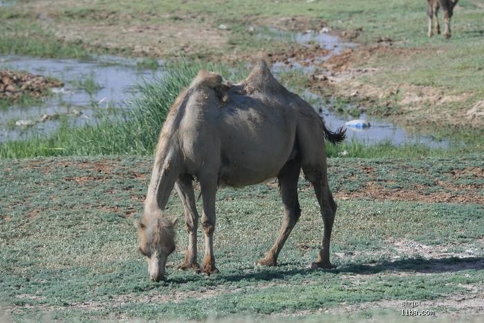 喀纳斯】 【公路上的不速之客】 今天一路会路过卡拉麦里山野生动物