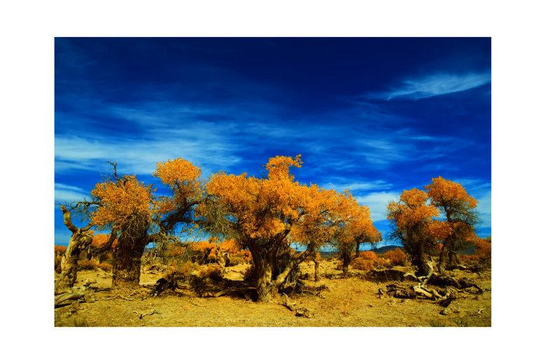 因为桦树的叶子都黄了,真的美的象油画一样,最好的时间是9月20日左右.