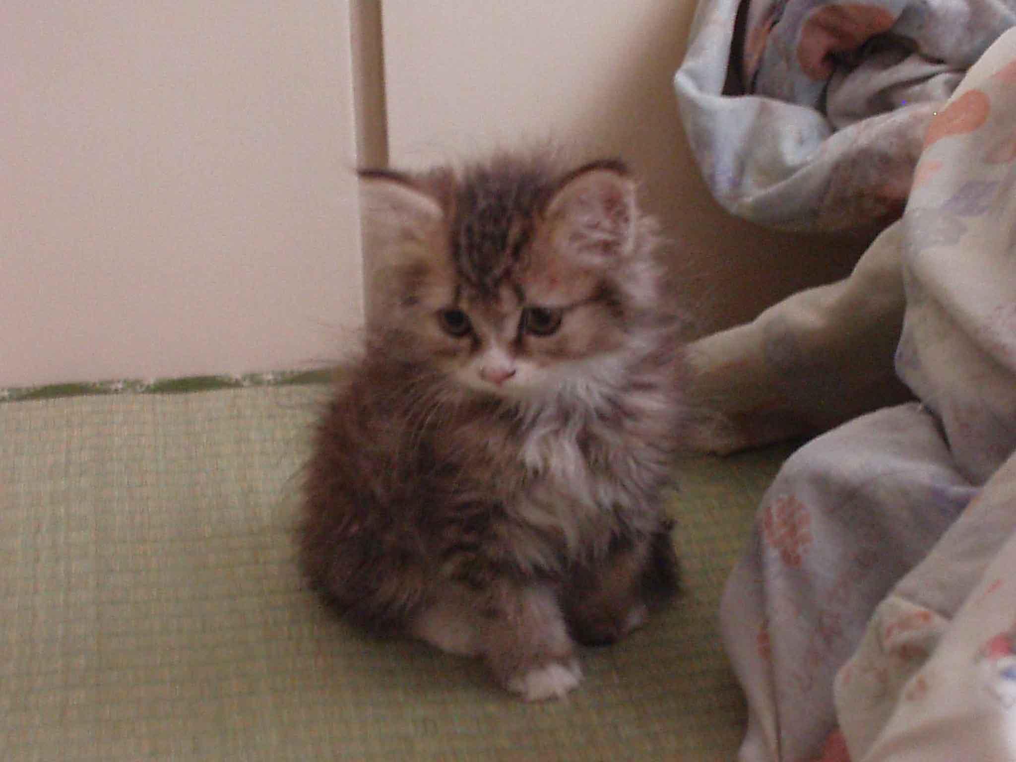 [免费领养]急转家养金吉拉猫猫和刚出生2个月的猫宝宝