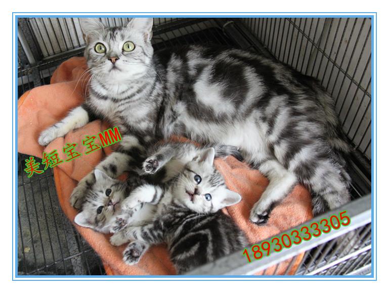 翘尾巴的精灵- 出售可爱的起司猫!