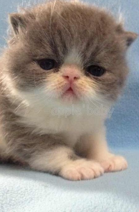 > 超萌加菲猫出售