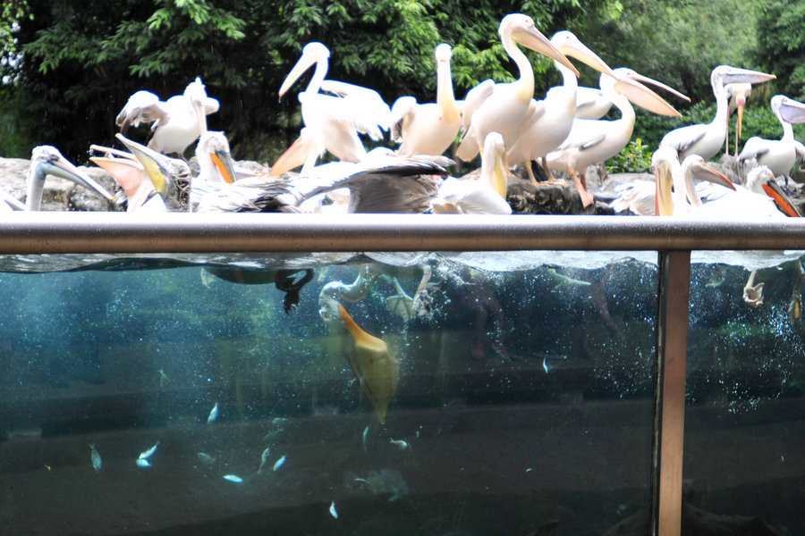 关于 新加坡/新加坡最多见的八哥鸟,不怕人