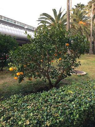 韩国济州岛橘子树
