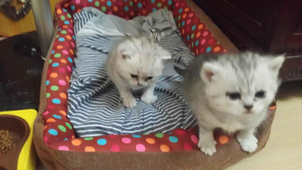 自家养的可爱纯种美短虎斑小猫咪